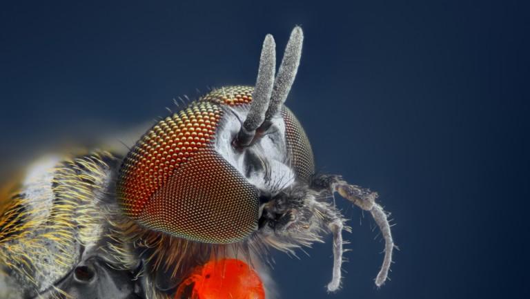 Kriebelmücke-Beißwerkzeuge
