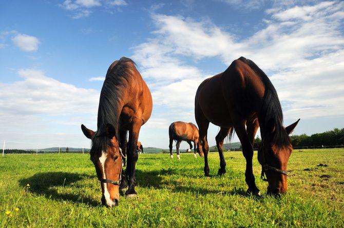 Pferde grasen friedlich auf der Weide