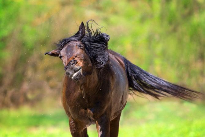 Pferd im Sommer wehrt Mücken ab