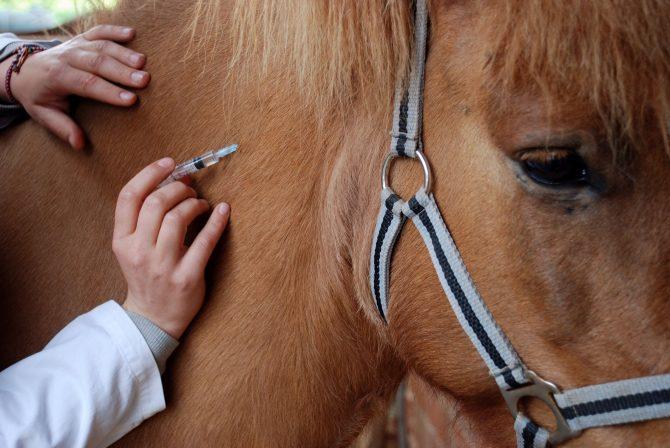 Pferd wird geimpft