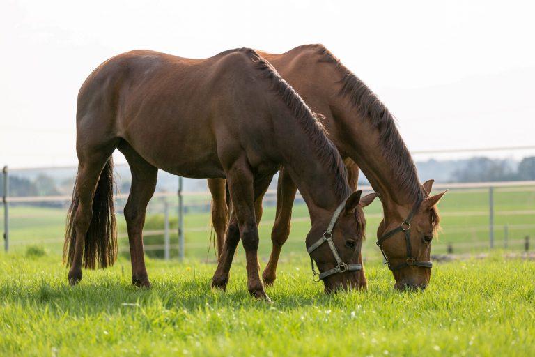 Anweiden der Pferde