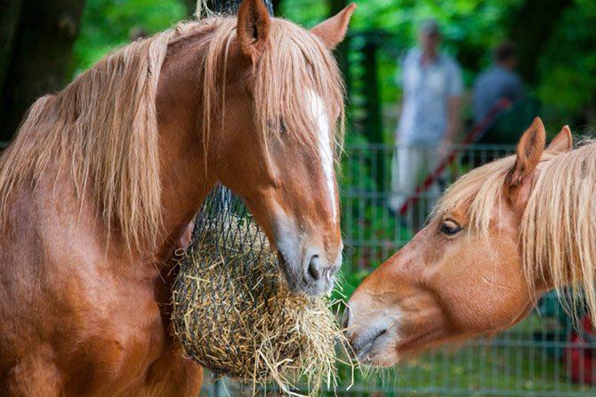 Die Pferde fressen ihr Heu aus dem Heunetz