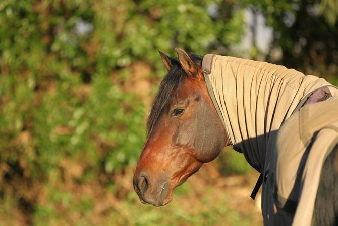 Sommerekzem. Pferd mit Decke.