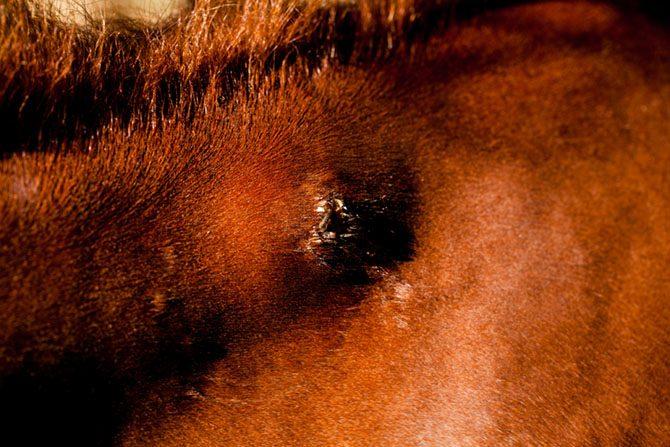 Pferd hat einen geschwollenen Insektenbiss