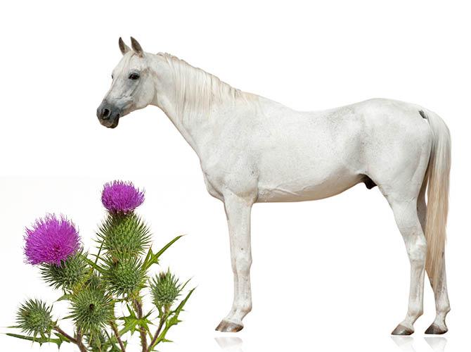 Pferde mit Mariendistel bei Leberbeschwerden behandeln