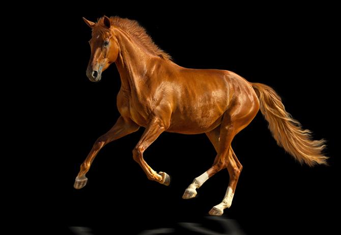 Pferdemuskulatur
