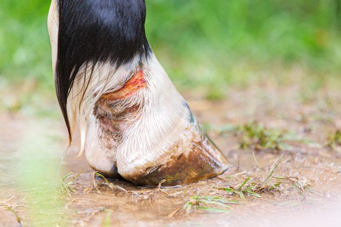 Pferd hat Mauke am Fesselgelenk
