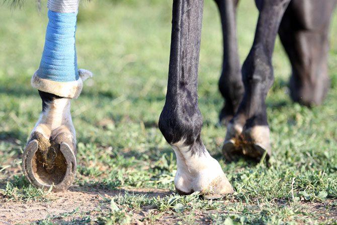 Sehnenverletzung beim Pferd.