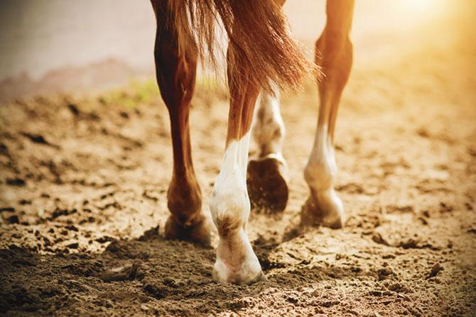 Pferdebeine und deren Sehnen